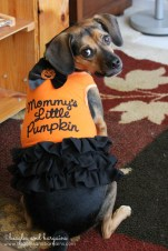 """Luna dressed as a """"Mommy's Little Pumpkin"""" for Halloween from Petco"""