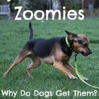 Zoomies: Why Does My Dog Get Them?