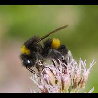 ultra violet, bee, bumble bee