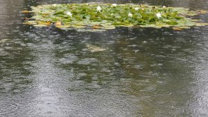 lilies on water, rain on a pond, droplets