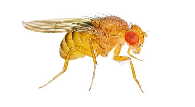 fruit fly on white backgroun