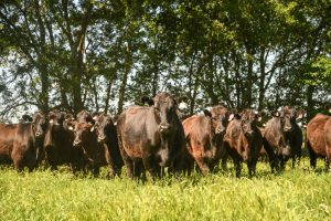 livestock cattle in a field at Bear Creek Farms