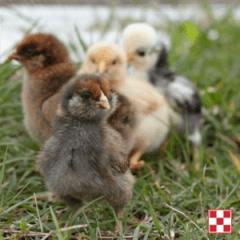 baby chicks walking