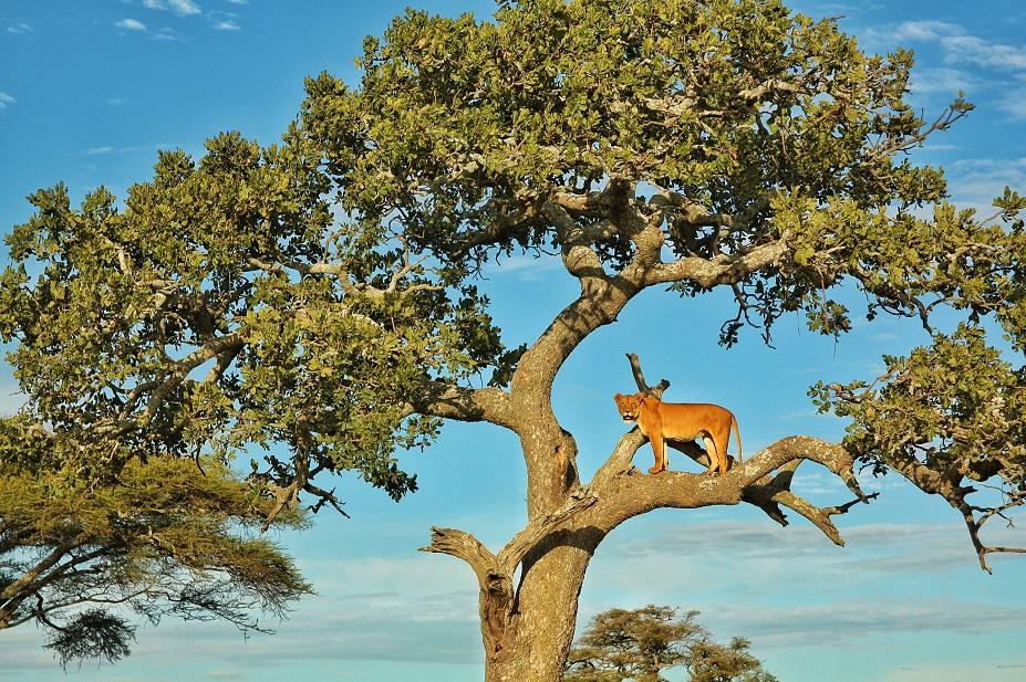 Serengeti, Ngorongoro Crater, Masai Mara, Kenya, Safari, Africa, Lion, Cheetah, Great Migration, Leopard