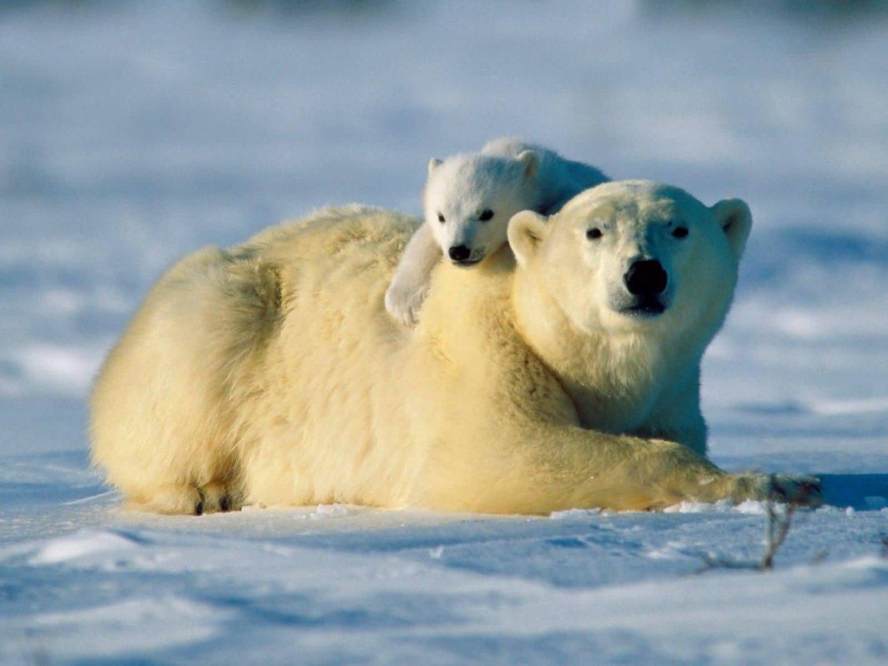Polar Bears Gt Facts Eat Baby Population Endangered Global Warming Extinction