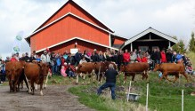 Kosläpp i Saxebyn - NWT's Micke Lindblom utmanar ödet
