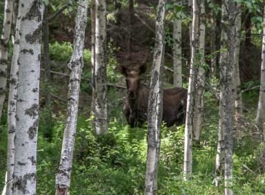 200713-163407-moose-1D8A5786