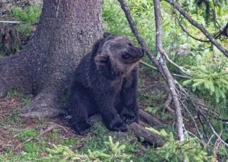 200723-154332-orsa-bear-1D8A7857