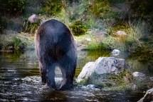 200723-160945-orsa-bear-1D8A7911