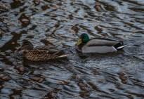 210103-143956-saffle-duck-1D8A5514