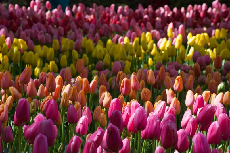 Rows of colored tulips