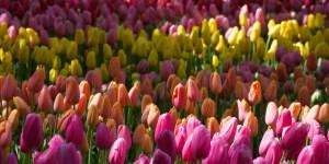 Rows of Tulips at Keurkenhof