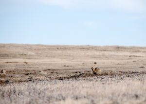 In the brown grass of winter, a prairie dogs sits.