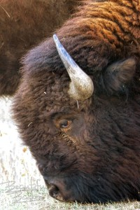 Close up of a bison grazing