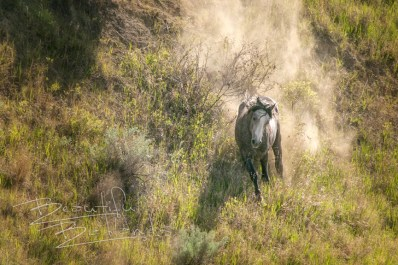 A wild horse runs down the hill at the Theodore Roosevelt National Park