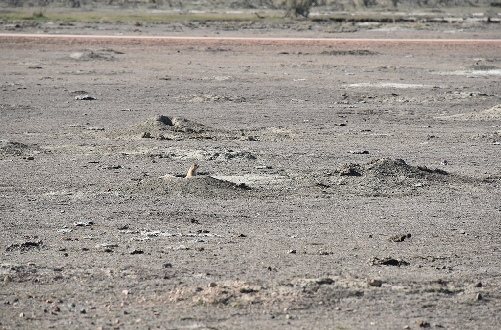Those cute prairie dogs can be destructive