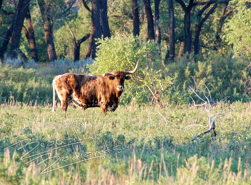 a short history of the longhorns on the Long X trail and the Theodore Roosevelt National Park.