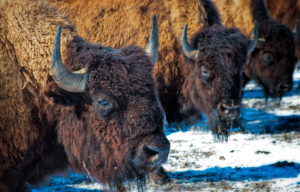 Where the buffalo used to roam -- a history of Badlands buffalo