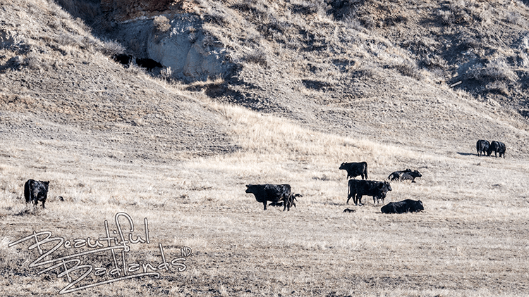 ranch cattle three v ranch