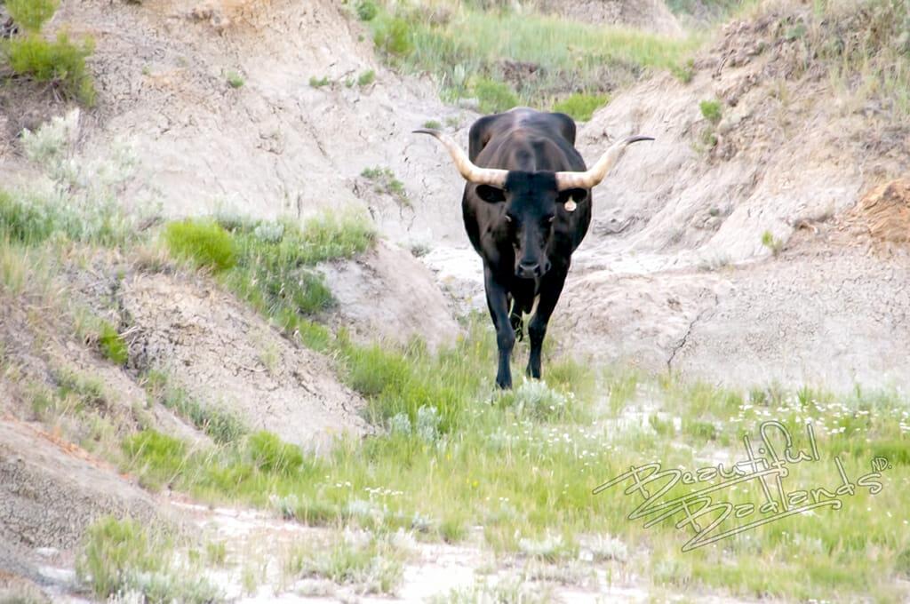 longhorns and  bison