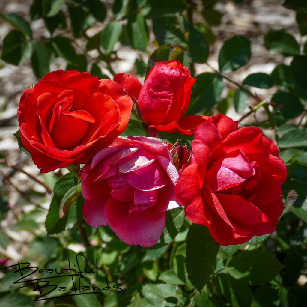 Red roses are abloom in June at the NDSU extension gardens in Dickinson, North Dakota.