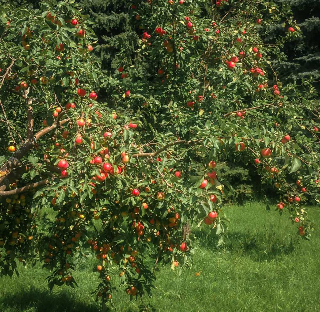 Help those groaning trees by picking those luscious apples !