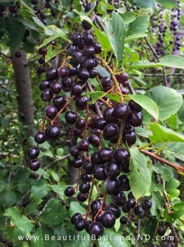 Chokecherries hang like grape clusters in North Dakota.