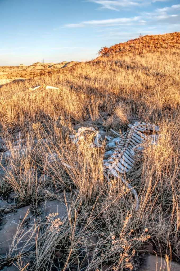 bison skeleton