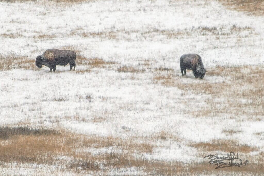 bison graze in the snow