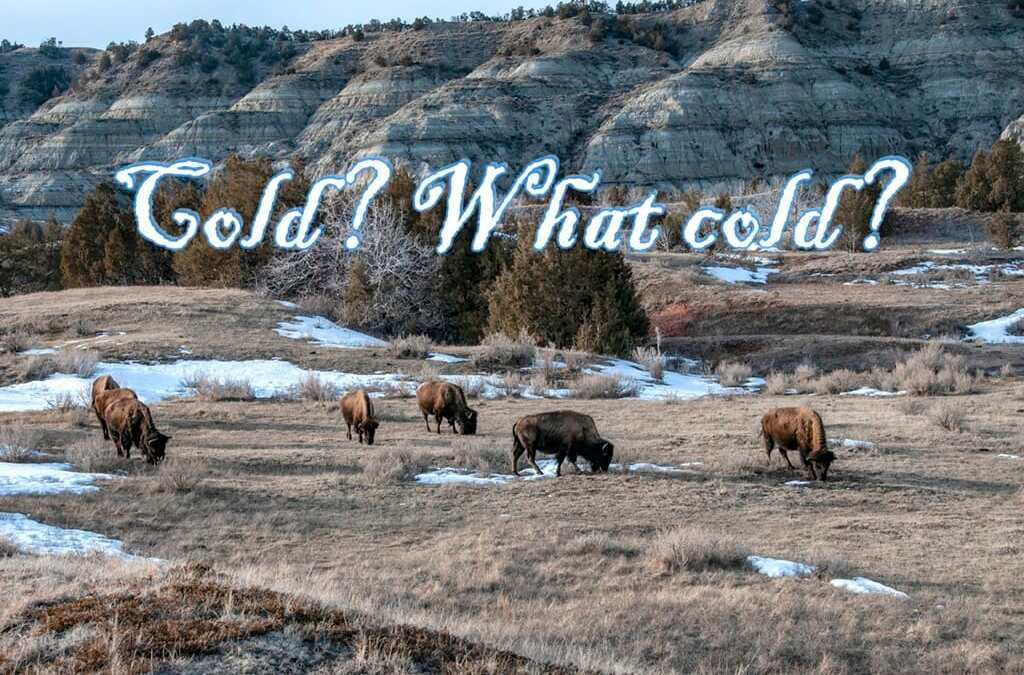 "Bison say, ""cold ain't botherin' me, none.""  Saturday Snapshot"