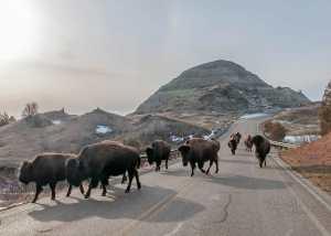 bison theodore roosevelt national park sundog