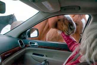 horse at car window