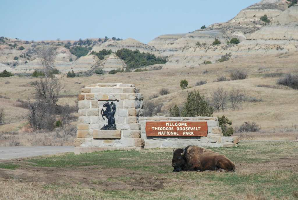 Bison Greeting at Theodore Roosevelt National Park, north unit