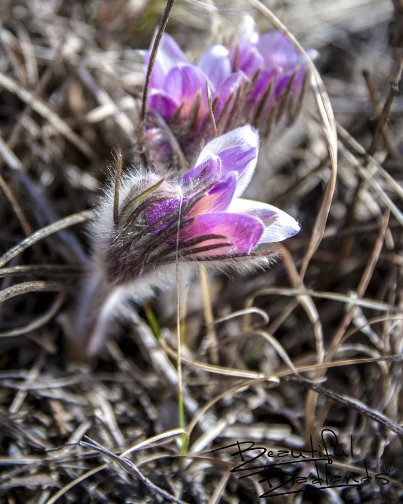 Pasqueflowers Begin to Blossom in Western North Dakota