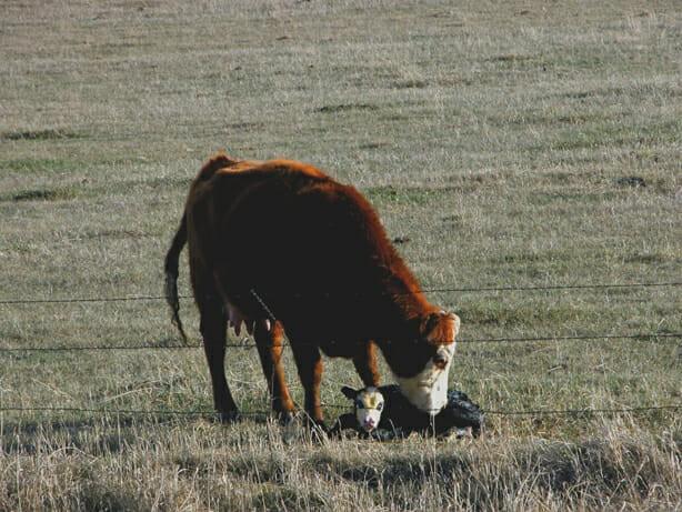 cow nudges calf