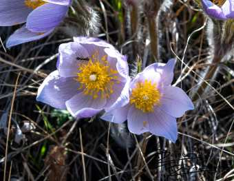 Theodore Roosevelt National Park, North Dakota April 2019 Read about Prairie Crocus (Pasque Flowers) here: http://bit.ly/2Jbdjfq