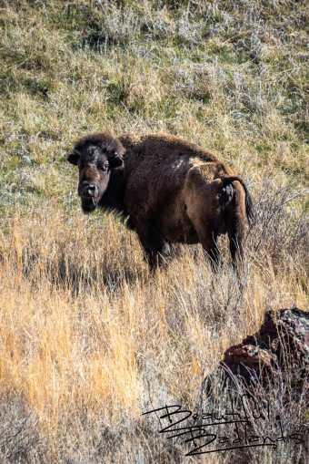 Bison Mom On Vigile. Theodore Roosevelt National Park, North Dakota