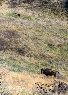 Bison Calf Not Far From Mom, Theodore Roosevelt National Park, North Dakota