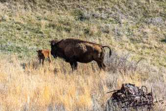 Calf and Mom. Bison of Theodore Roosevelt National Park, North Dakota
