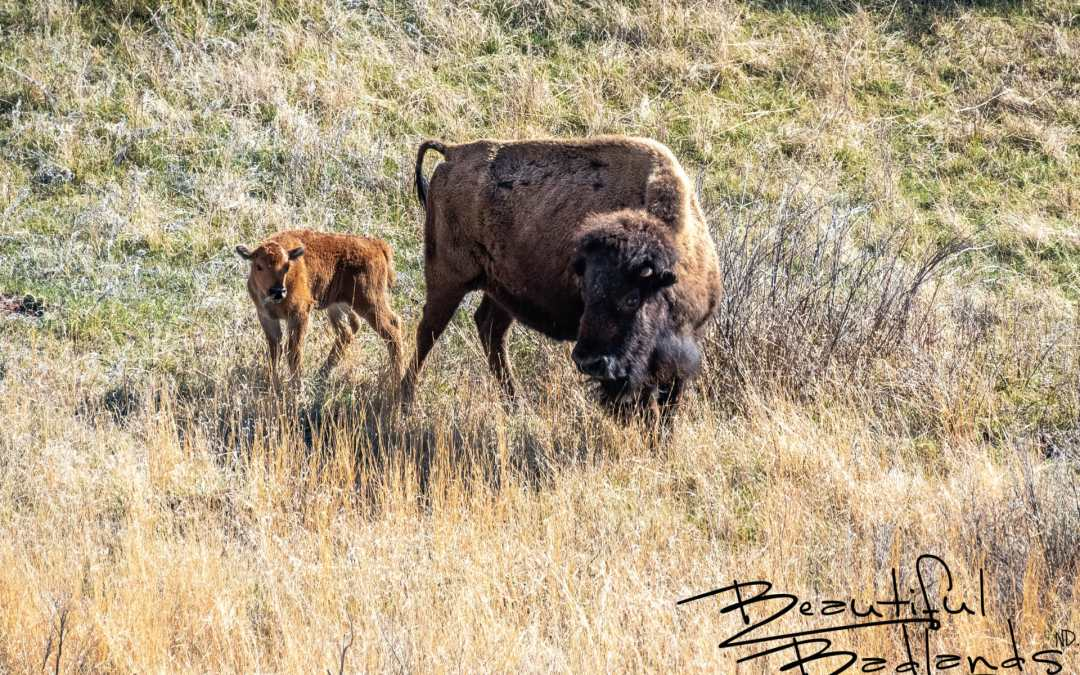 Delightful Search for Spring Life in Theodore Roosevelt National Park