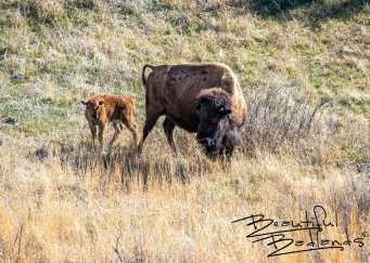 Mom and Baby Bison. Theodore Roosevelt National Park. April 2019