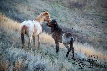 Mother's Love? Wild Horses of Theodore Roosevelt National Park, North Dakota
