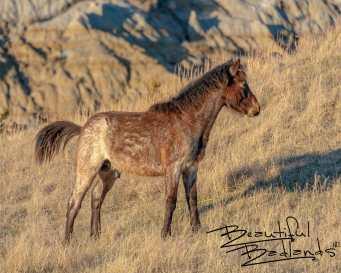Wild Colt in Theodore Roosevelt National Park, North Dakota