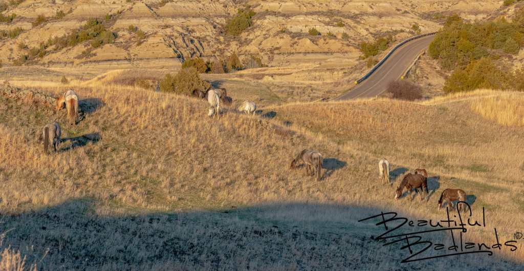 Feral Horses Graze Near the Scenic Loop Drive in Theodore Roosevelt National Park