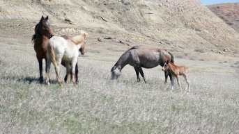 New Life! A Foal Among the First Band We Spotted! Theodore Roosevelt National Park, North Dakota April 2019