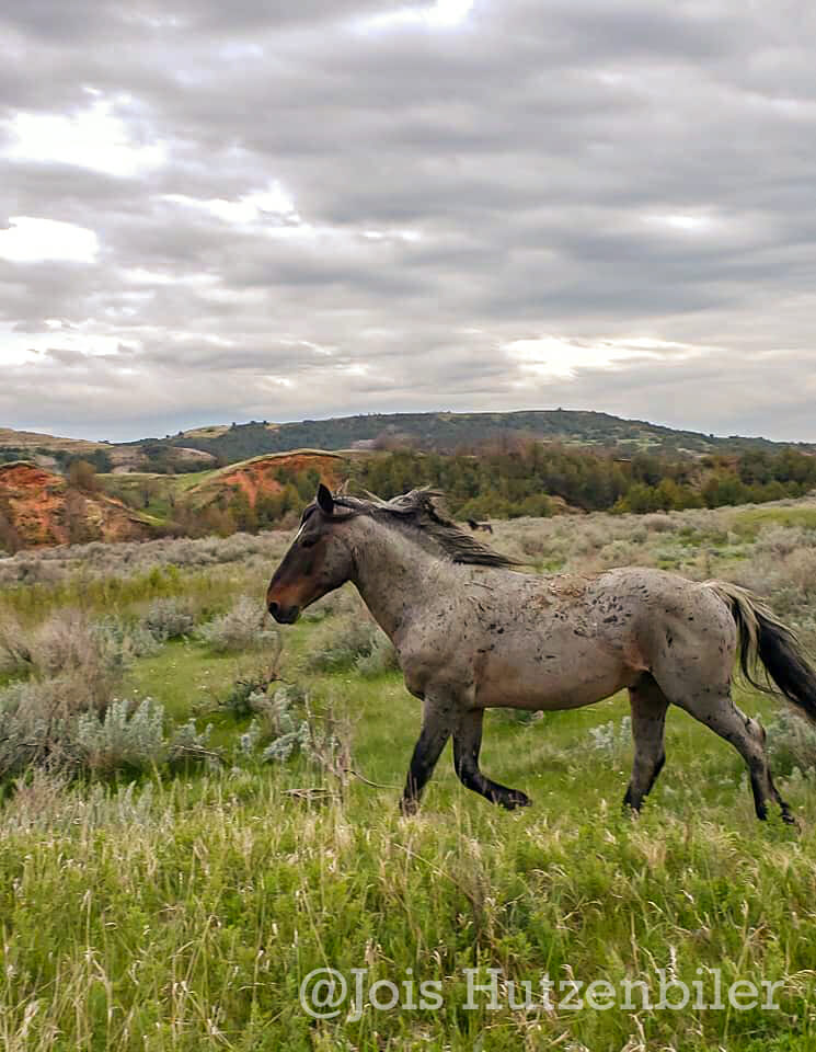 Wild Horses of Theodore Roosevelt National Park 3, Jois Hutzenbiler