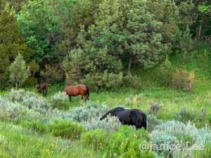 Three Wild Horses in Spring at Theodore Roosevelt National Park, by Janice Lee