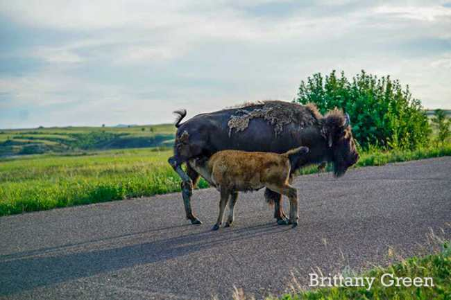 Bison Mom Nursing Calf atTheodore Roosevelt National Park, South Unit. By Brittany Green