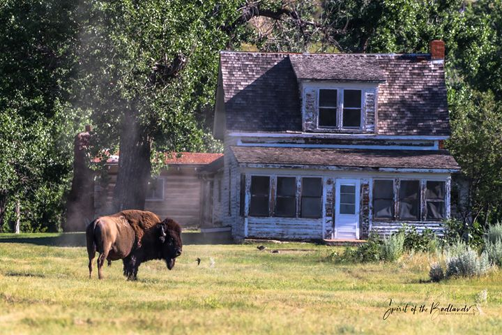 Bison at Peaceful Valley Ranch, Theodore Roosevelt National Park by Amy White