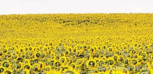 Sunflowers as Far as the Eye Can See! by Connie Austin Weakly